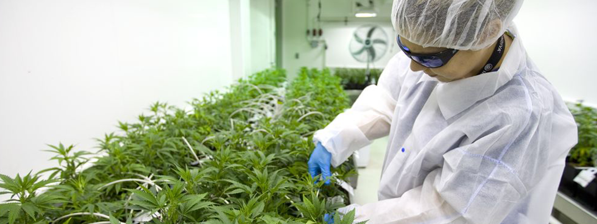 Little pot grower that could, Indiva, looking for staff who think they can